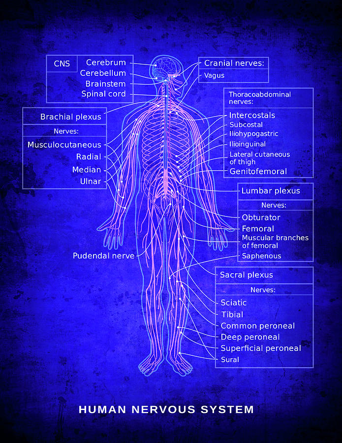 Human Nervous System Diagram Blueprint Digital Art By Daniel Hagerman
