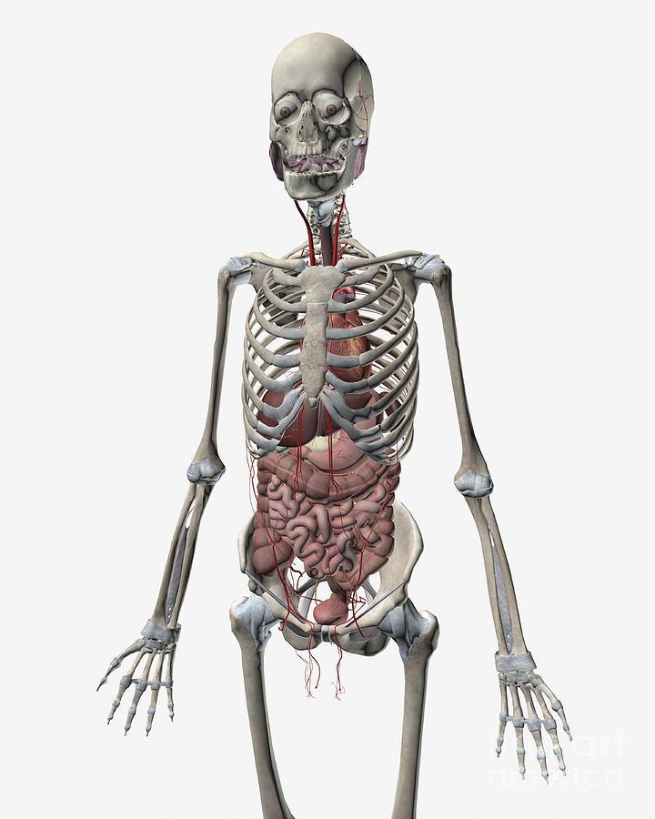Картинка скелета и внутренних органов