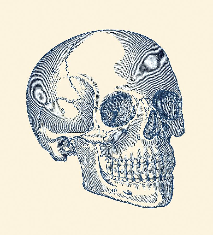Human Skull Diagram Vintage Anatomy Print Drawing By Vintage