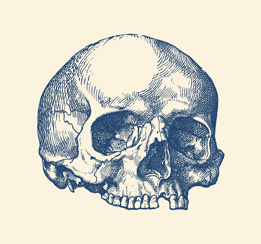 Human Skull No Jaw Simple View Drawing By Vintage Anatomy Prints