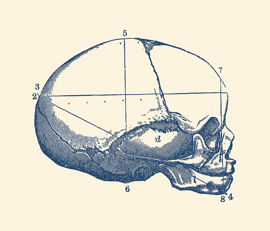 Human Skull - Side View - Vintage Anatomy Drawing by Vintage Anatomy ...