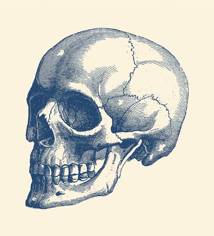 Human Skull Vintage Anatomy Poster Drawing By Vintage Anatomy