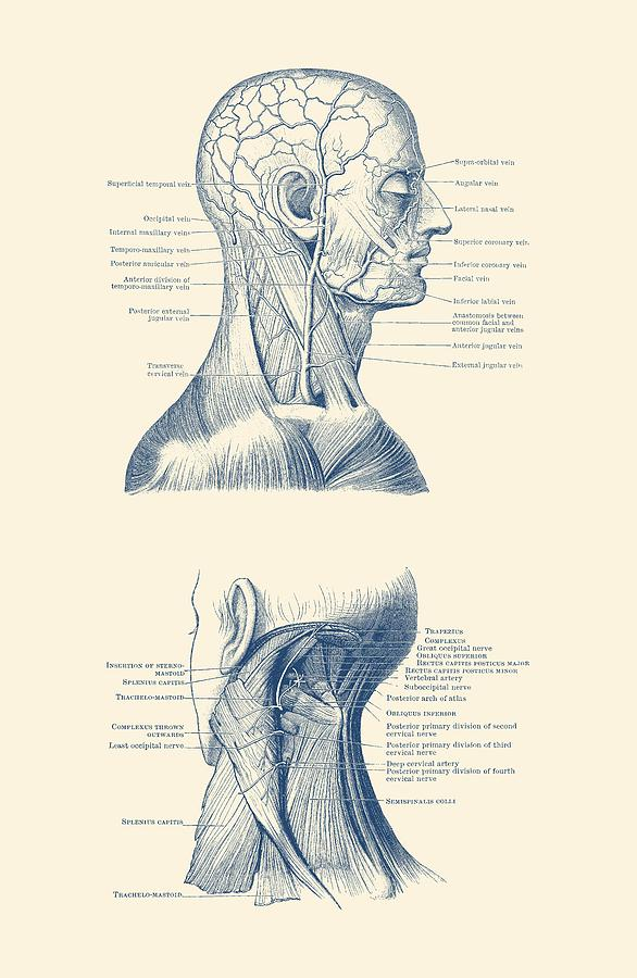 Human Venous And Circulatory Systems Head And Neck Dual View