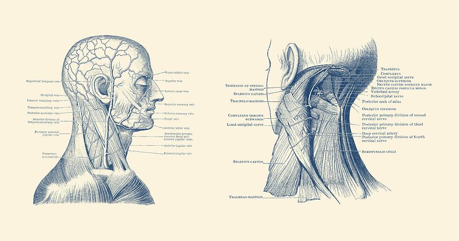 Human Venous And Circulatory Systems - Head And Neck Drawing by ...