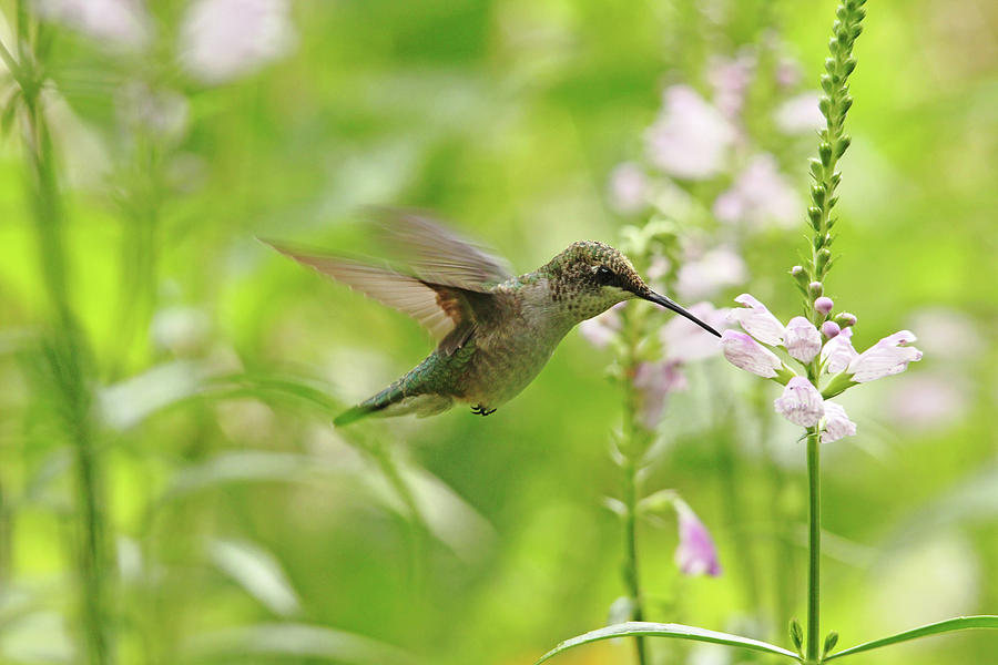 Hummingbird Photograph - Hummer And Obedient Plant by Debbie Oppermann