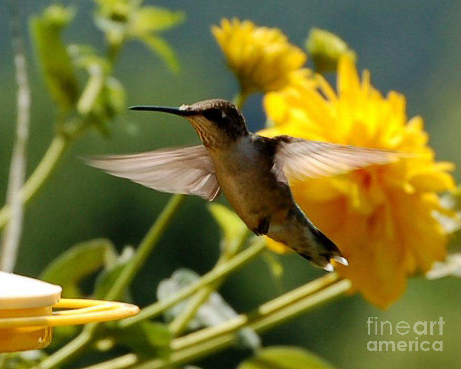 Diane Berry Photograph - Hummer by Diane E Berry