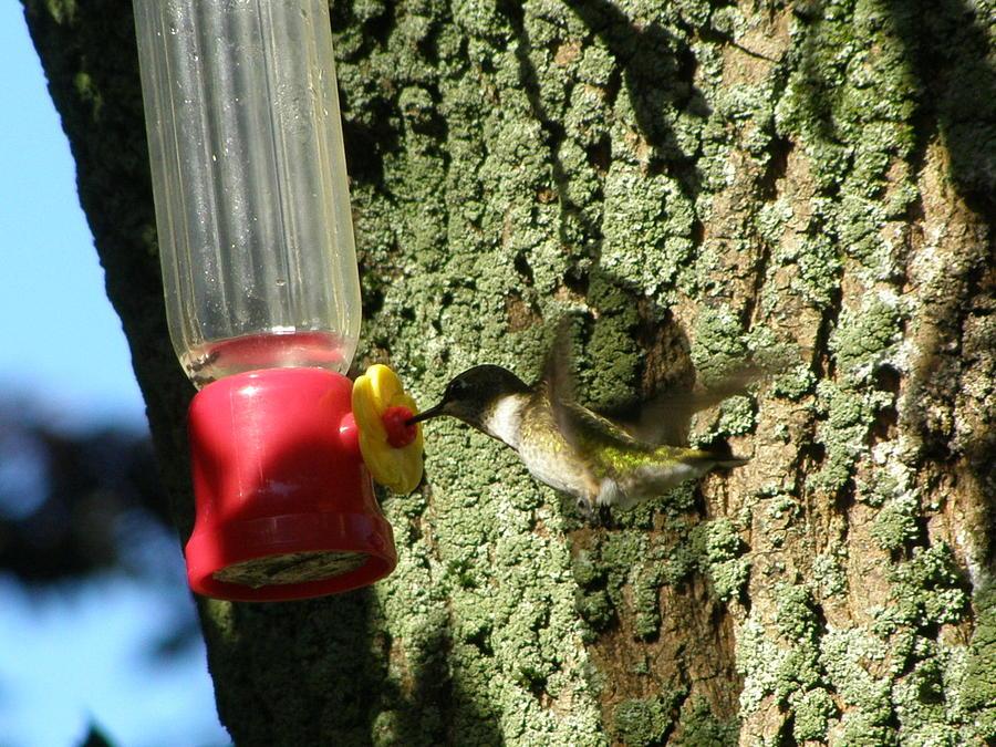 Humming Bird Photograph - Humming Bird by Richard Payer
