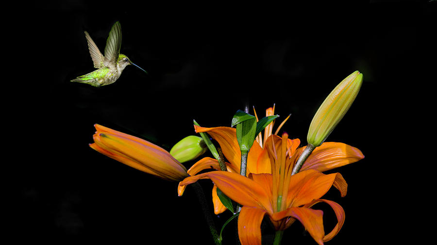 Hummingbird looking for Nectar by Kenneth Cole