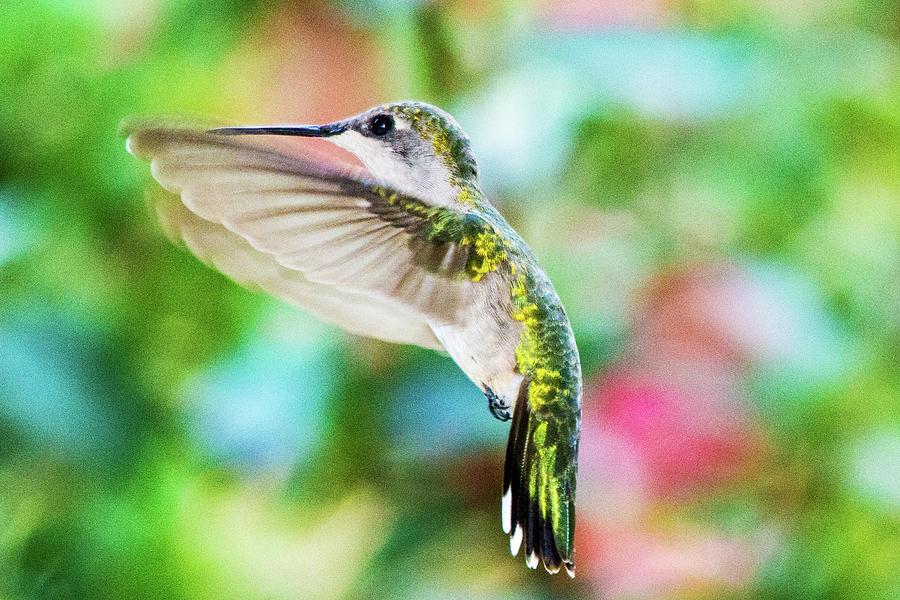 Hummingbird Photograph - Hummingbird 06 - 9-13 by Barry Jones