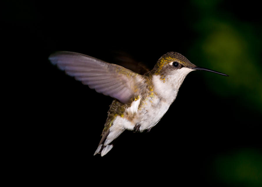 Bird Photograph - Hummingbird 3 by Edward Myers