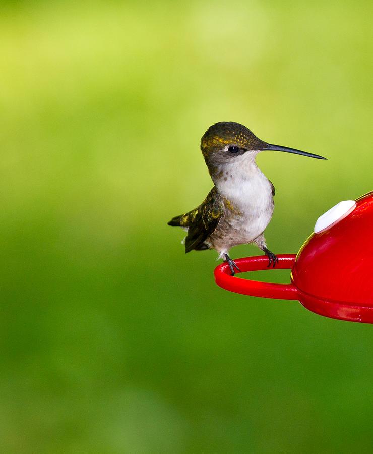 Avian Photograph - Hummingbird 4 by Edward Myers