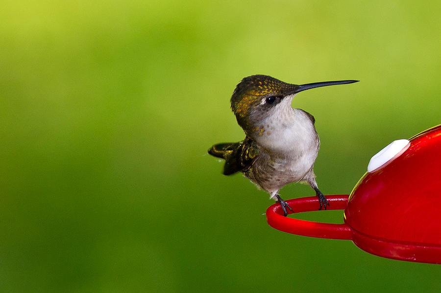 Avian Photograph - Hummingbird 5 by Edward Myers