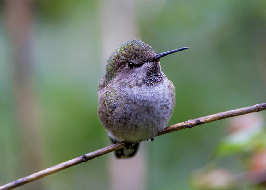 Hummingbird 5120 by Pamela S Eaton-Ford