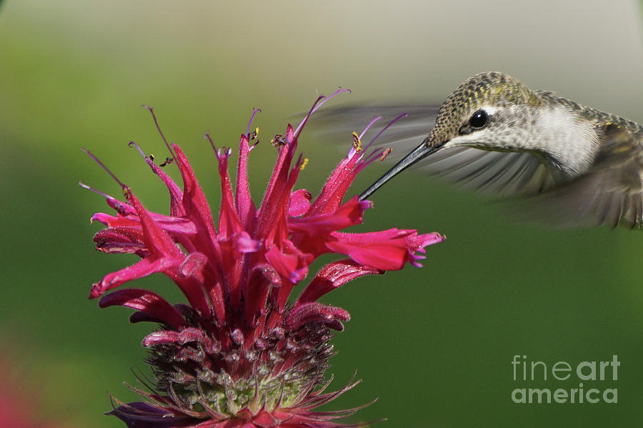 Hummingbird and Bee Balm by Robert E Alter Reflections of Infinity