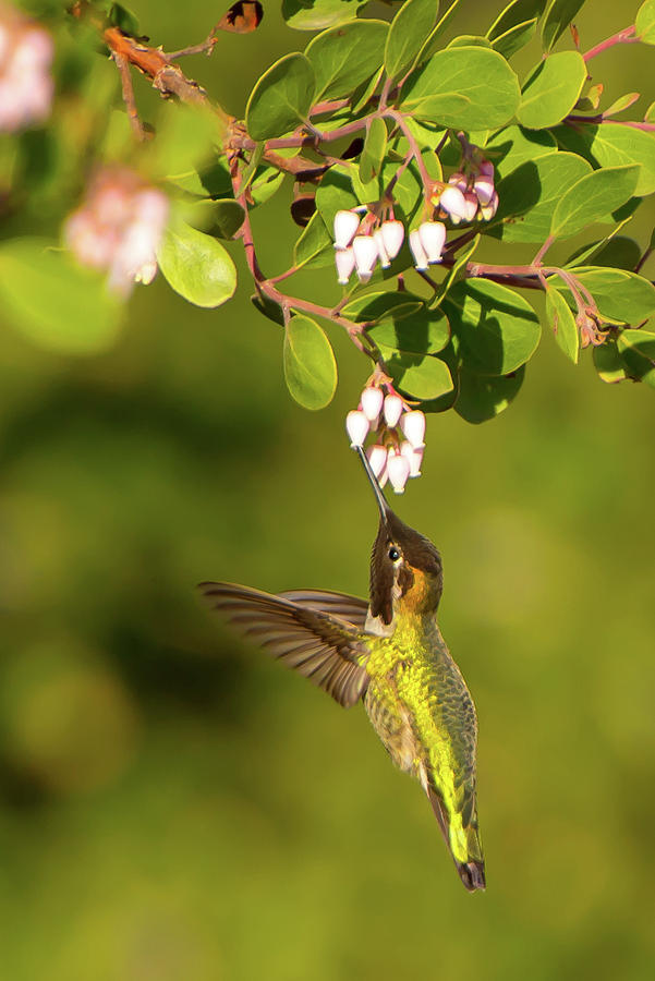 Hummingbird and Manzanita blossom by Paul Johnson