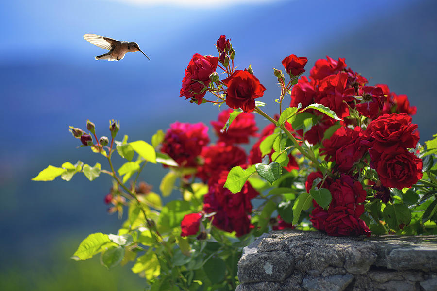 Hummingbird Photograph - Hummingbird And Roses by Giovanni Allievi