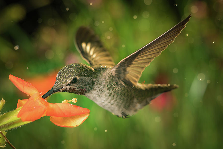 Hummingbird And The Monkey Flowers Photograph