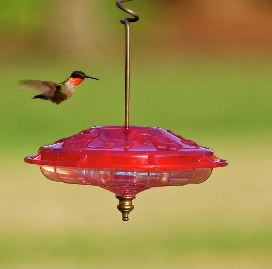 Hummingbird at feeder #2 by Peter Ponzio