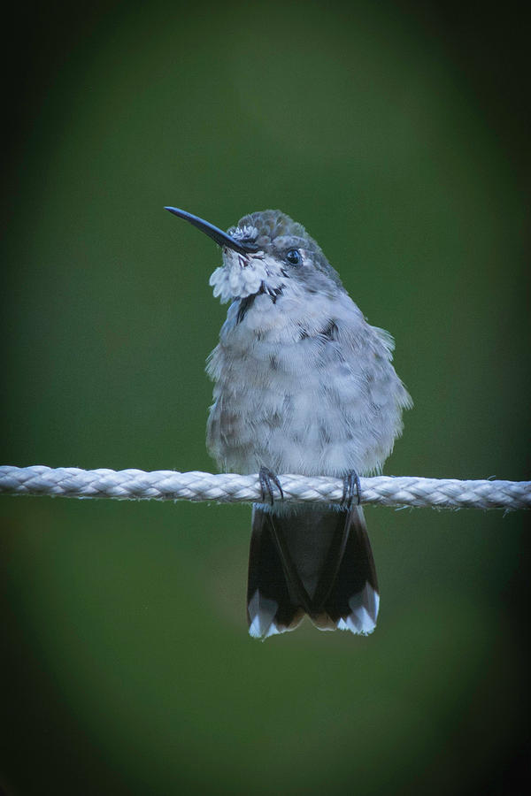Hummingbird at rest by Kenneth Cole