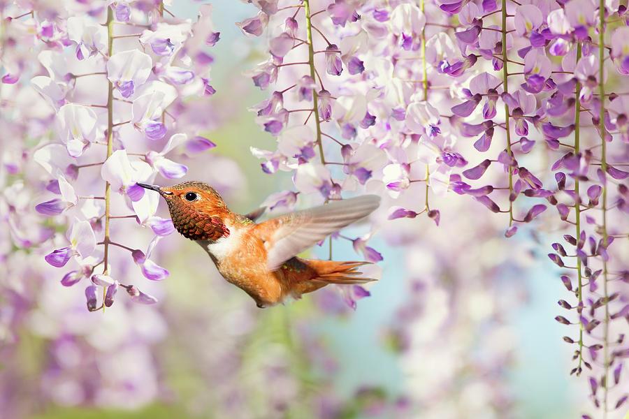 Hummingbird Photograph - Hummingbird At Wisteria by Susan Gary