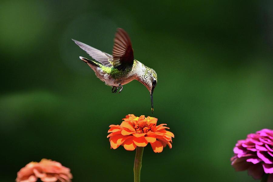 Hummingbird Bullseye Art Prints for Sale