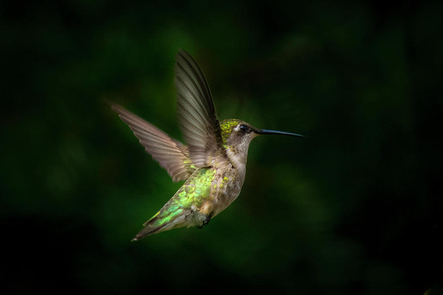 Young Ruby Throated Hummingbird  by Kenneth Cole