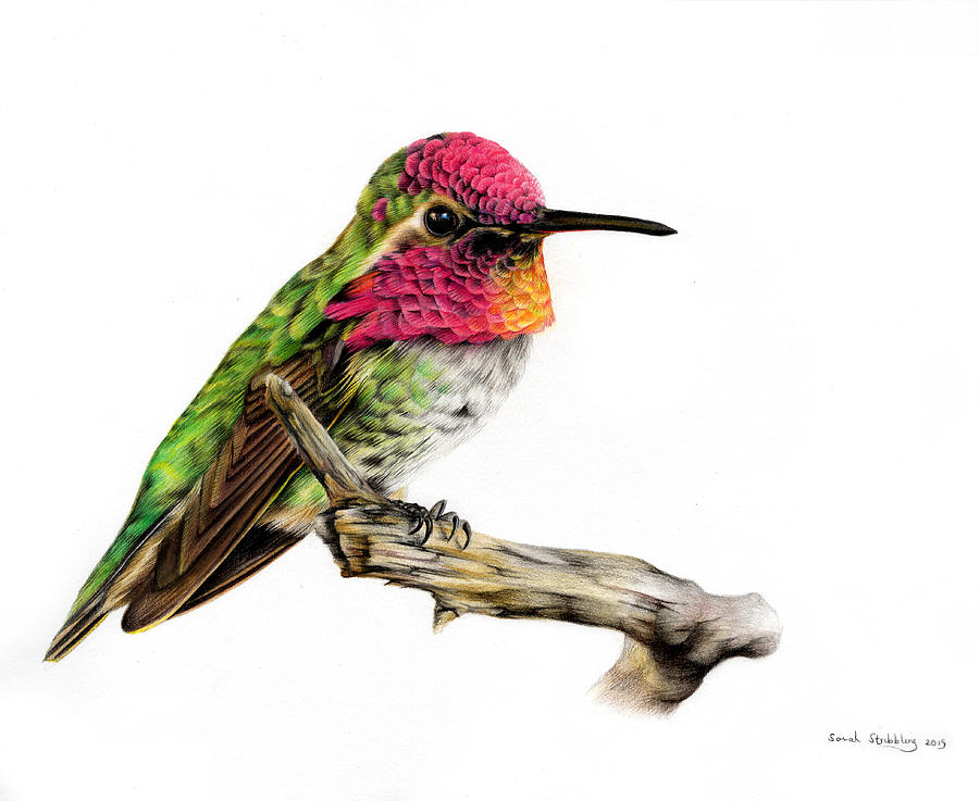 Hummingbird Colour Pencil Drawing Painting by Sarah Stribbling