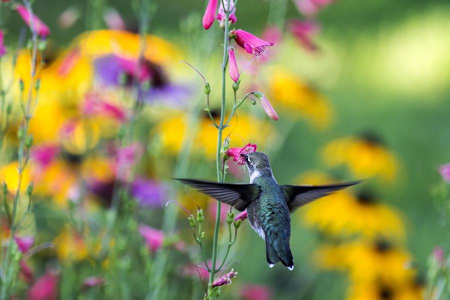 Hummingbird Photograph - Hummingbird Dance by Dana Moyer