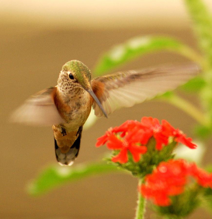 Humming Bird Photograph - Hummingbird by Don Wolf