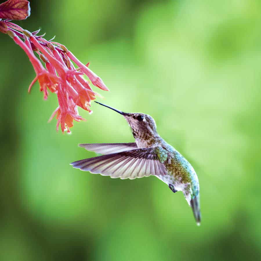 Brazilian Hummingbird Makes The Highest