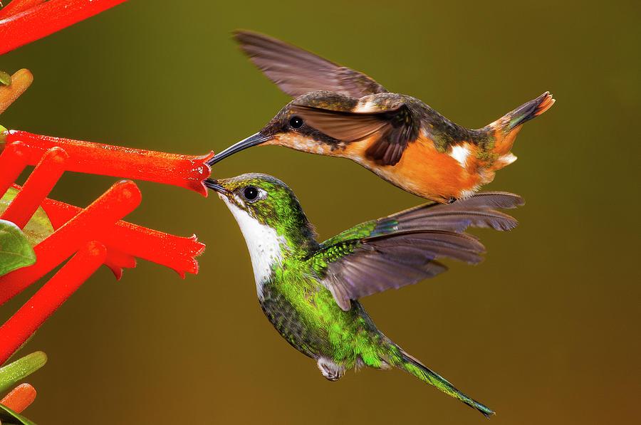 Hummingbird Duet by Jim Frandeen