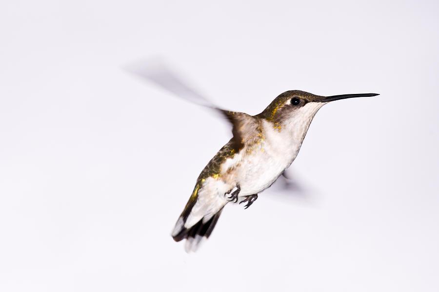 Bird Photograph - Hummingbird by Edward Myers