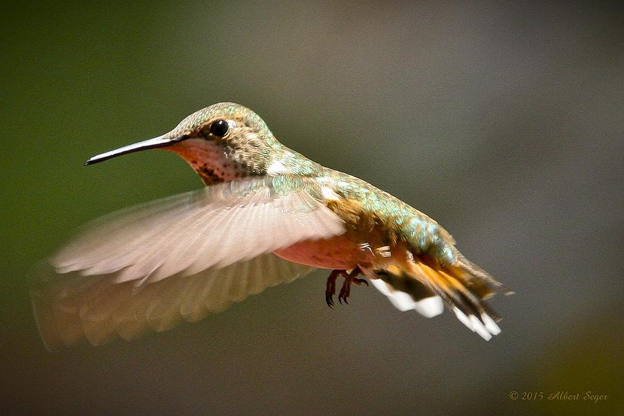 Hummingbird Photograph - Hummingbird facing left by Albert Seger