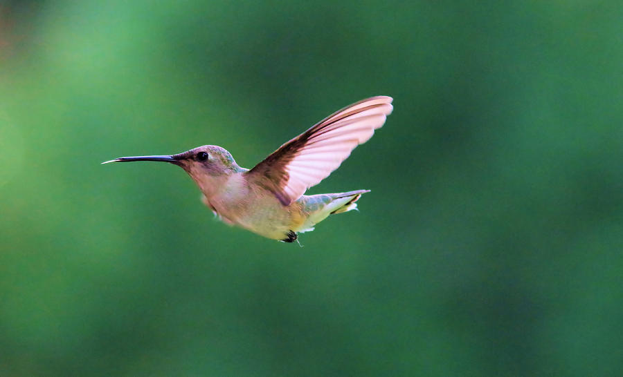 Bird Photograph - Hummingbird Flickering Its Tongue by Jeff Swan