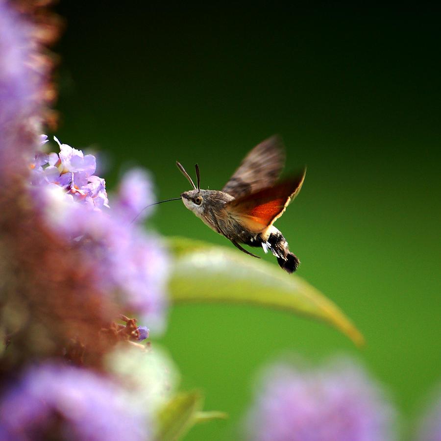 Hummingbird Hawk Moth Photograph - Hummingbird Hawk Moth - Four by P Donovan