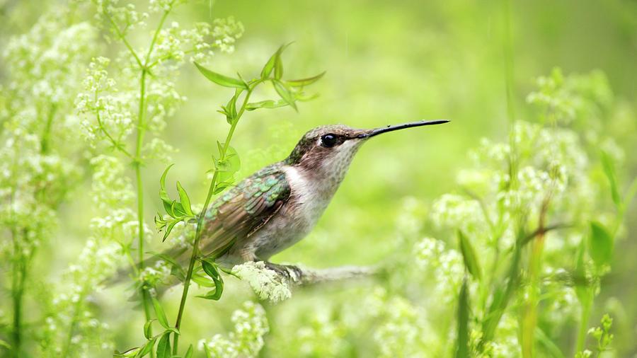 Hummingbird Photograph - Hummingbird Hiding In Flowers by Christina Rollo