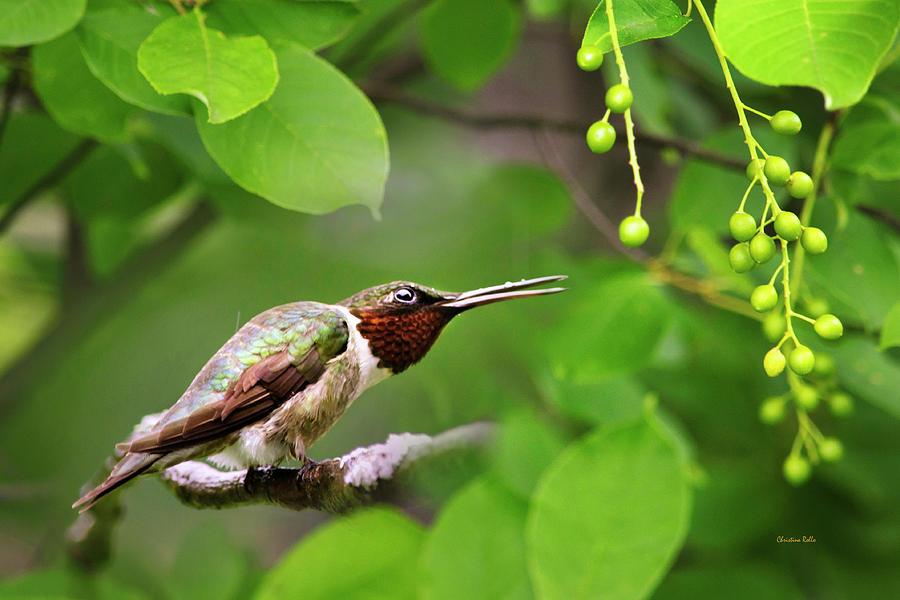 Ruby Throated Hummingbird Photograph - Hummingbird Hiding In Tree by Christina Rollo