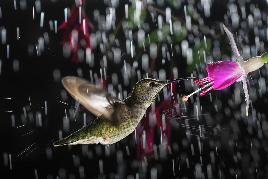 Action Photograph - Hummingbird Hovering In Rain With Splash by William Freebilly photography