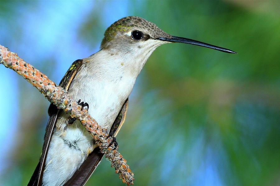Hummingbird I by Paul Marto