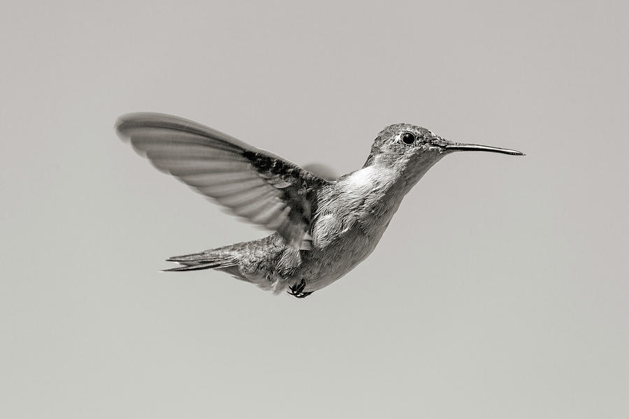 Hummingbird Photograph - Hummingbird In Black And White by Betsy Knapp