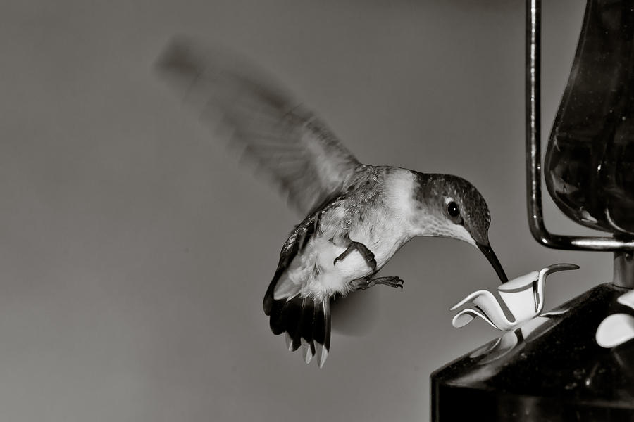 Bird Photograph - Hummingbird In Black And White by Edward Myers