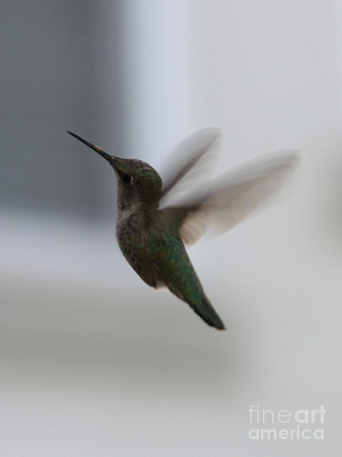 Hummingbird Photograph - Hummingbird In Flight by Carol Groenen