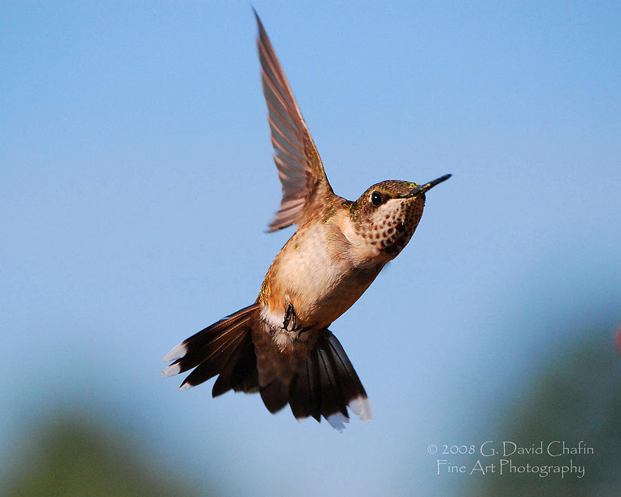 Animal Photograph - Hummingbird In Flight by Dave Chafin