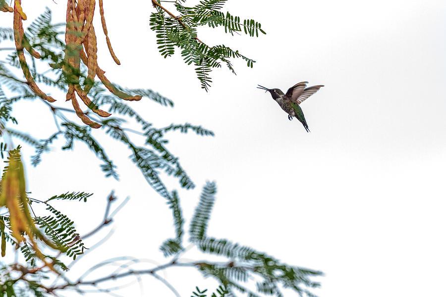 Hummingbird Photograph - Hummingbird In Flight Isolated On White Sky by Susan Schmitz