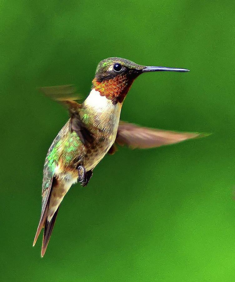 Vertical Photograph - Hummingbird In Mid-air by Jeff R Clow