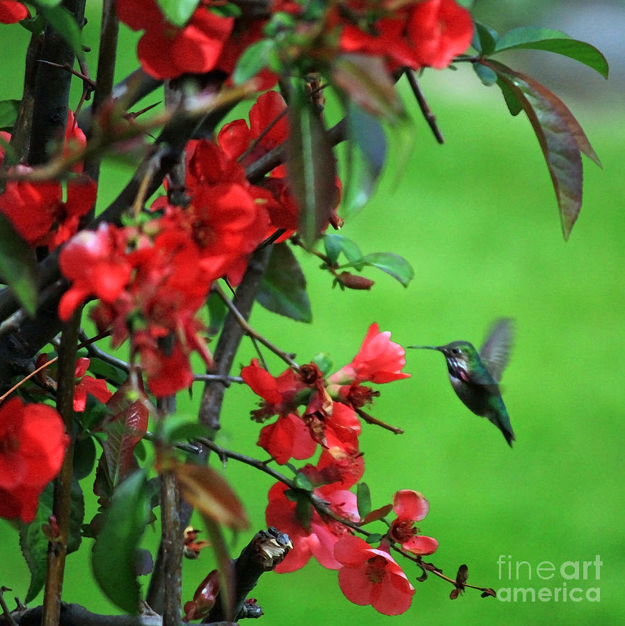 Flowering Quince Photograph - Hummingbird In The Flowering Quince - Digital Painting by Carol Groenen