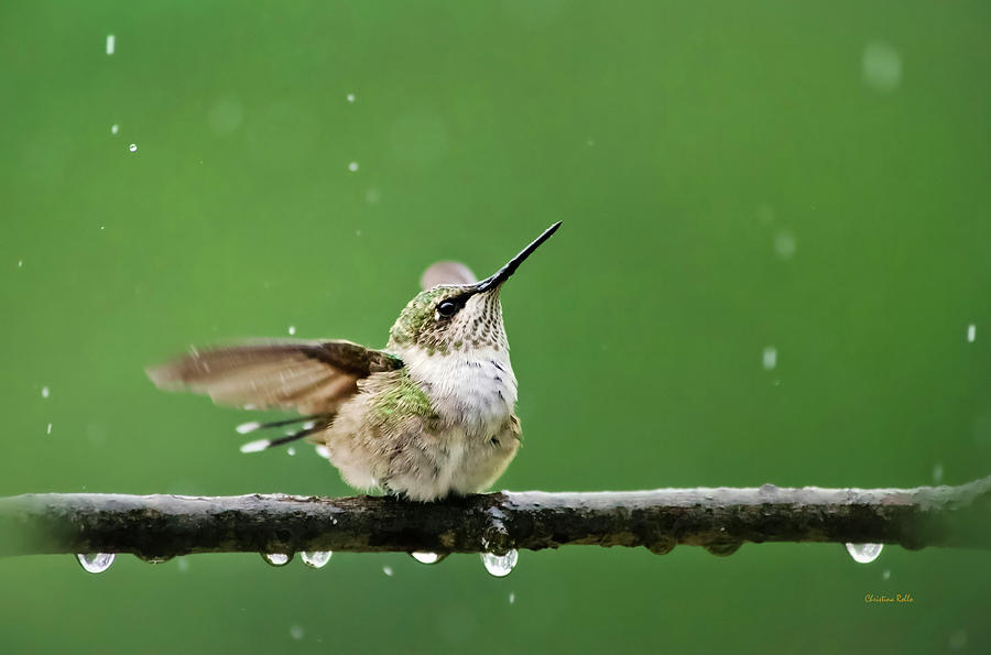 Hummingbird Photograph - Hummingbird In The Rain by Christina Rollo