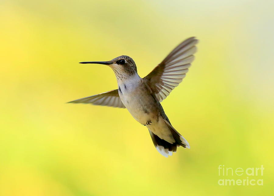 Hummingbird In Yellow Photograph by Carol Groenen