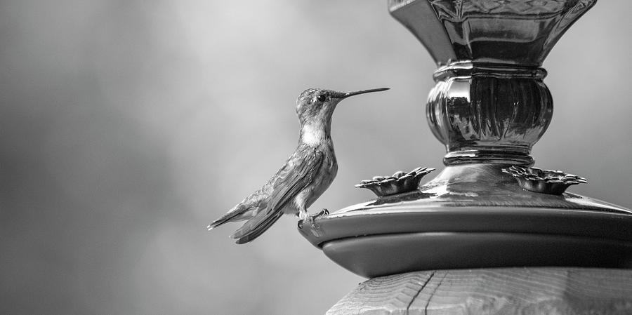 Hummingbird Photograph - Hummingbird Intrigue  by Betsy Knapp