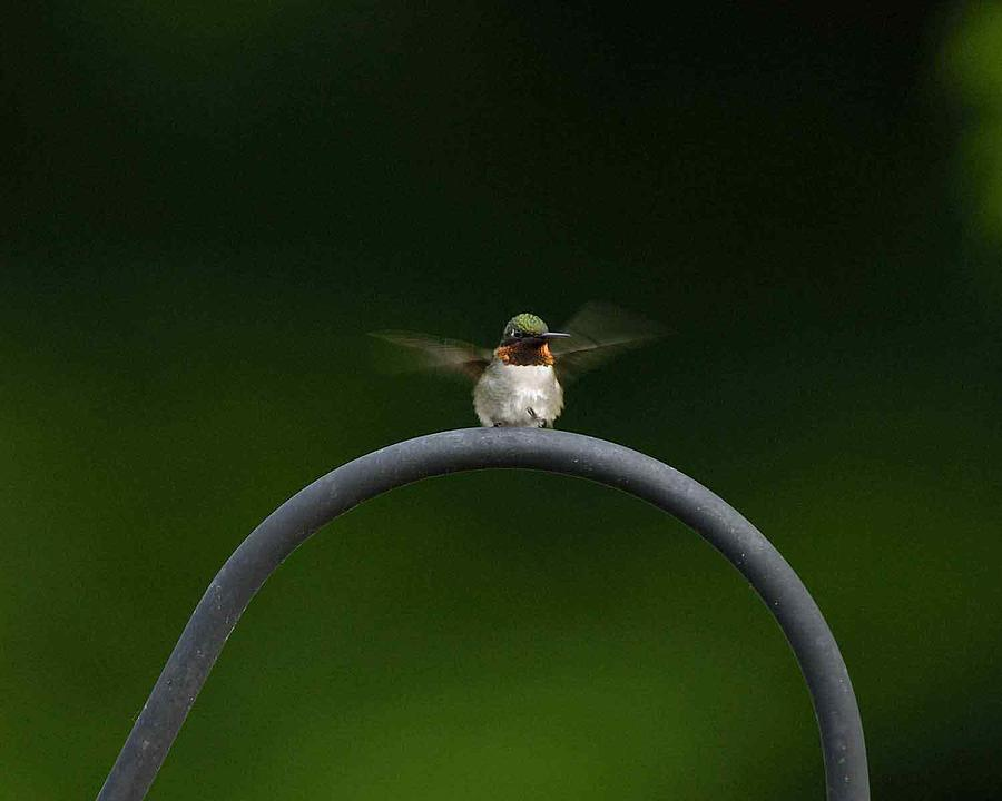Hummingbird Photograph - Hummingbird by James Wallace